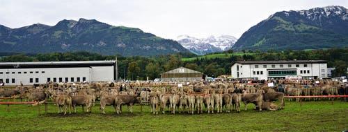 Braunvieh - eine Kuh schöner als die andere - so weit das Auge reicht. (Bild: Romano Cuonz, Sarnen, 4. Oktober 2019)