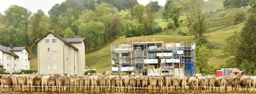 Hier stehen die Kühe in Reih und Glied und warten auf ihre Bewertung.