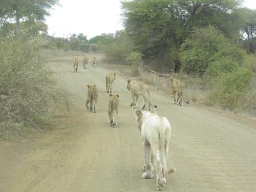 Krüger National Park Südafrika: Löwenstau im Park. (Bild: Walter Odermatt)