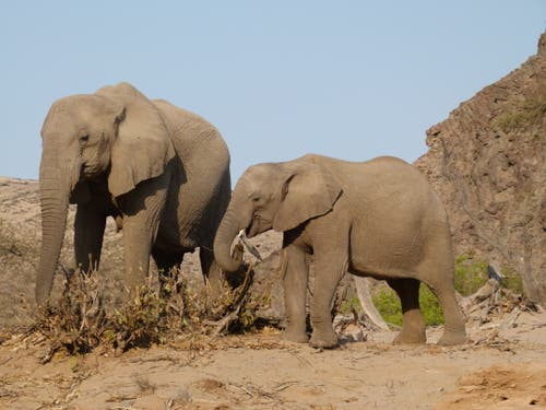 Wüstenelefanten in der Namib Wüste im nördlichen Namibia: bis zu vier Tage können sie ohne Wasser auskommen. (Bild: Walter Odermatt)