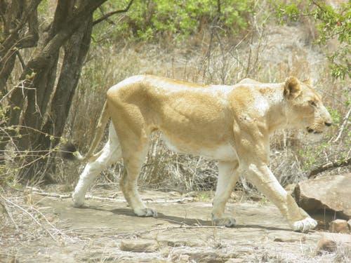 Krüger National Park in Südafrika: Der einzige weisse Löwe im Park. (Bild: Walter Odermatt)