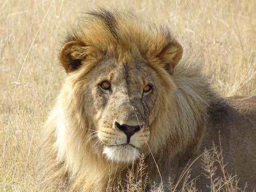 Namibia: Löwe im Etosha National Park. (Bild: Walter Odermatt)