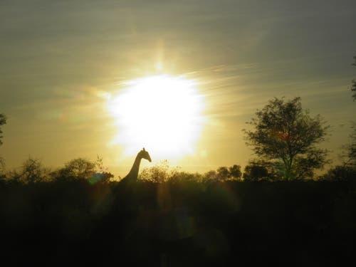 Abendstimmung im Krüger National Park in Südafrika. (Bild: Walter Odermatt)