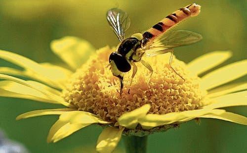Schwebfliegen sind effiziente Bestäuber, ausserdem fressen ihre Larven Schädlinge. (Bild: Gabriela Brändle, Agroscope)