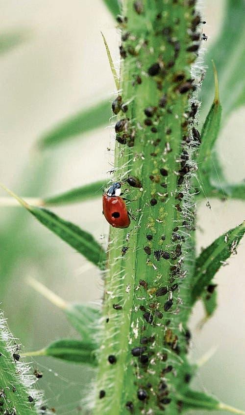 Marienkäfer sind Nützlinge, denn sie vertilgen grosse Mengen von Blattläusen. (Bild: Nana Do Carmo)