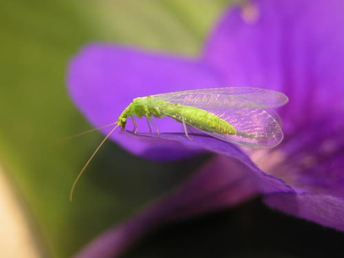 Erwachsene Florfliegen sind auf Pollen angewiesen. (Bild: Mario Waldburger, Agroscope)