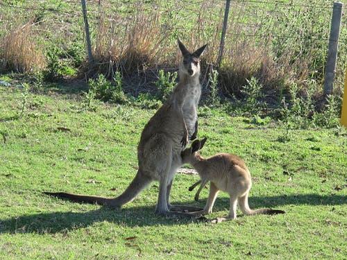 Etwa elf Millionen Graue Riesenkängurus leben in den australischen Steppen. (Bild: Anita Risch, WSL)