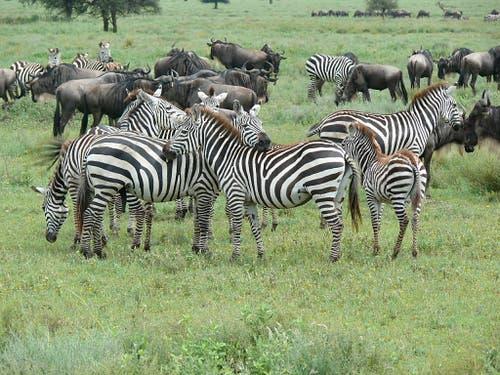 Rund 1,5 Millionen Gnus und 200'000 Zebras ziehen jährlich durch die Serengeti und prägen das Graslandökosystem. (Bild: Anita Risch, WSL)
