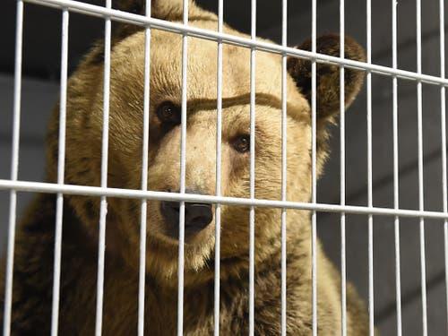 Die beiden Bären Amelia und Meimo sind im Arosa Bärenland angekommen. (Bild: Stiftung Arosa Bären/Vier Pfoten)