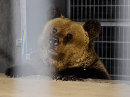 Die beiden Bären haben eine lange Reise hinter sich. (Bild: Stiftung Arosa Bären/Vier Pfoten)