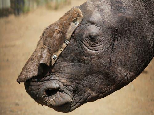 Nashörner werden in Südafrika nach wie vor zu Hunderten gewildert. 2018 fielen Wilderern fast 770 Tiere zum Opfer, ein Viertel weniger als ein Jahr zuvor. (Bild: KEYSTONE/EPA/KIM LUDBROOK)