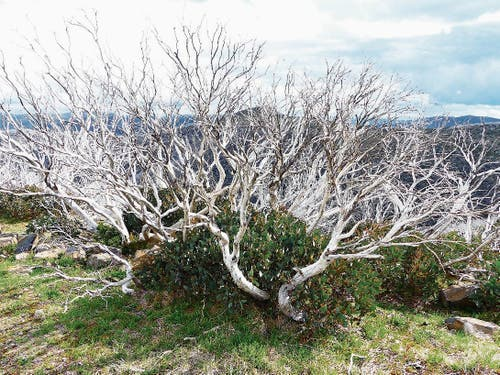 Die Eukalyptusbäume sind aufgrund von Buschfeuern silberweiss.