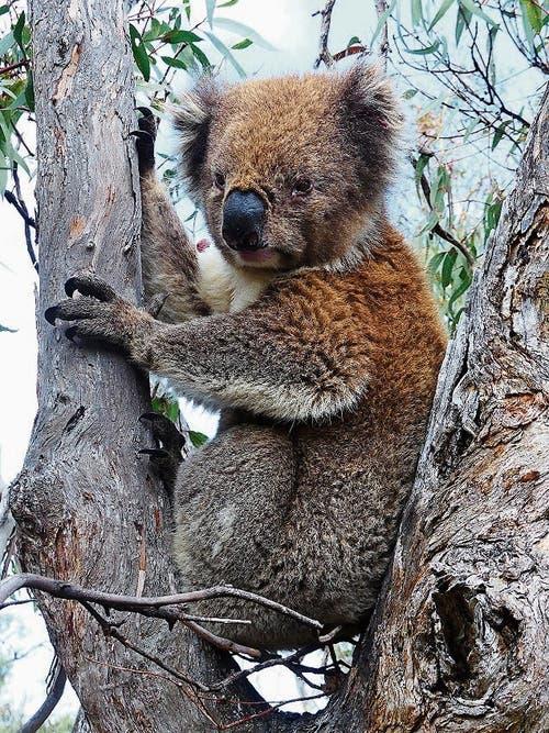 Der Koala ist ein ideales Fotomodell.