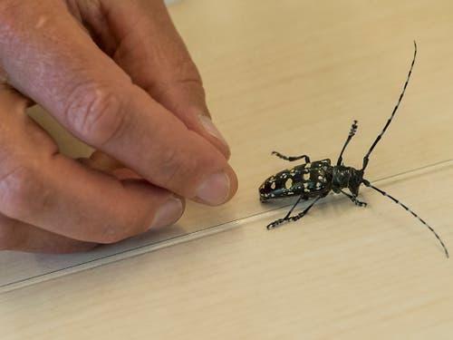 So sieht der Käfer aus Asien aus. (Bild: KEYSTONE/JEAN-CHRISTOPHE BOTT)