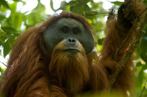 Entdeckt wurde der Tapanuli-Orang-Utan erst im Jahr 2017. Sein Lebensraum auf Sumatra umfasst rund 1000 Quadratkilometer, es gibt nur etwa 800 Tiere. Damit ist der Tapanuli der seltenste Menschenaffe der Welt. (Bild: Tim Laman)