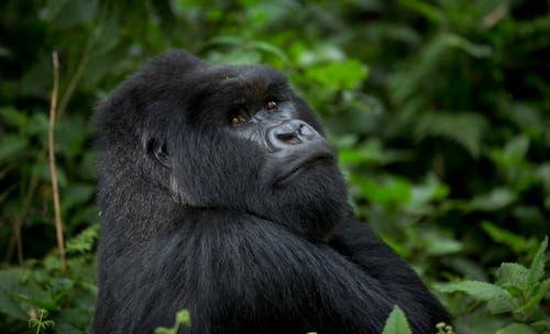 Der zentrale Lebensraum der Berggorillas liegt im Nationalpark Virunga im Grenzgebiet von Kongo, Ruanda und Uganda. Rund 1000 Tiere zählten die Wissenschafter im vergangenen Jahr. Das sind deutlich mehr als noch 2010. (Bild: AP)