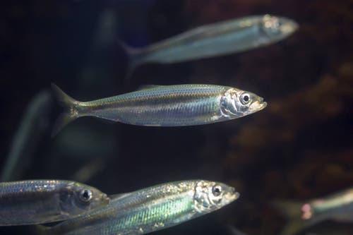 Einst galt der Vorrat an Ostsee-Heringen als unerschöpflich. In den vergangenen Jahrzehnten hat der Fisch einen Grossteil der Unterwasserwiesen verloren, in denen er seine Eier ablegt. Daher gibt es immer weniger Nachwuchs. (Bild: Imago)