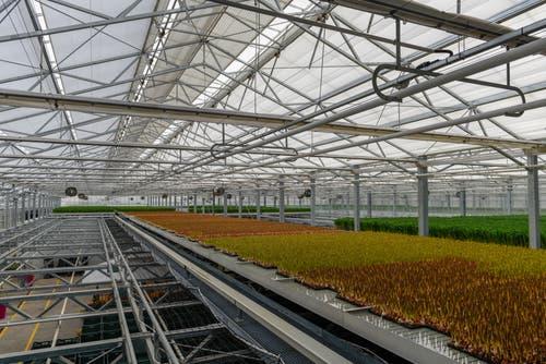 Ihre dritte Wachstumsphase verbringen die Tulpen in der obersten Etage des Gewächshauses. (Bild: Raphael Rohner)
