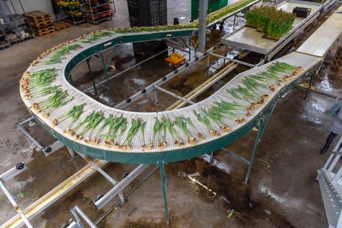 Zwiebel an Zwiebel wandern die Tulpen in Richtung Schnittmaschine. (Bild: Raphael Rohner)