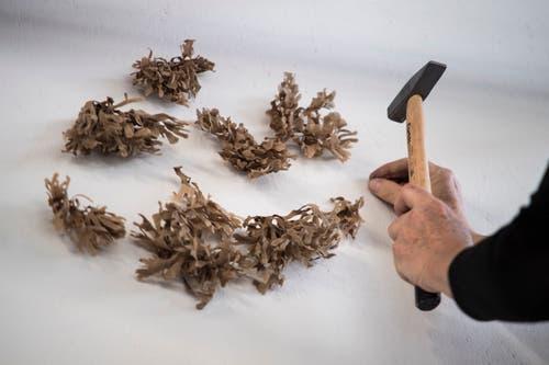 Die Pflanzen werden direkt an die Wand genagelt. (Bild: Pius Amrein, Luzern, 18. März 2019)
