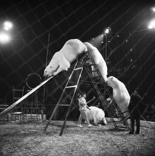 Selbst Eisbären sind im Zirkus Knie zu sehen, aufgenommen im März 1965 in Rapperswil. (Bild: Keystone /Str)