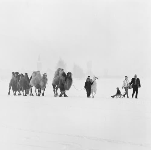 Kamele und ein Lama des Zirkus Knie werden am 29. Januar 1963 auf dem gefrorenen Zürichsee bei Rapperswil ausgeführt. (Bild: Keystone /Str)