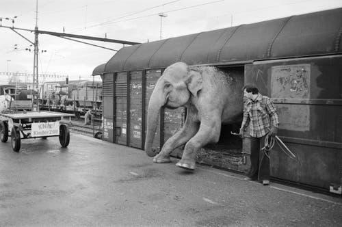 Nach dem Tourneeende des Zirkus Knie treffen am 29. November 1976 die Wagen mit Artisten, Tieren und dem grossen Zelt in Rapperswil ein, wo das Winterquartier bezogen wird. (Bild: Keystone /Str)