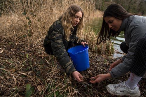 Die Schülerinnen Jil Weingartner (links) und Eniza Iten sammeln bei Sempach die Amphibien ein und setzen sie später beim Steinibühlweiher wieder aus. (Bild: Dominik Wunderli, 15. März 2019)