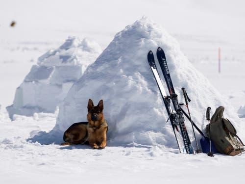 Nach der Arbeit kommt das Vergnügen: Ein Hund entspannt sich an den Schweizer Meisterschaften der Lawinenhunde in der Nähe von Adelboden BE. (Bild: KEYSTONE/ANTHONY ANEX)