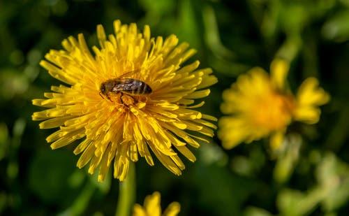 Eine Biene bei der Arbeit. (Bild: Daniel Hegglin, Zug, 9. April 2019)