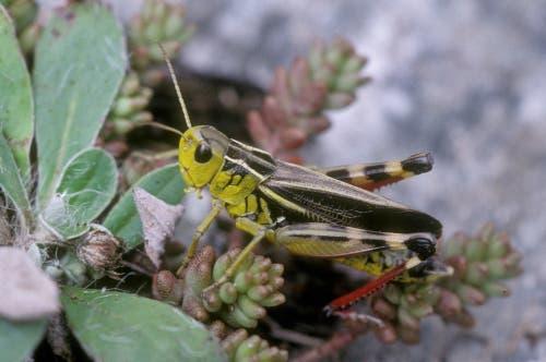 Die grosse Höckerschrecke (Arcyptera fusca). Bild: Albert Krebs
