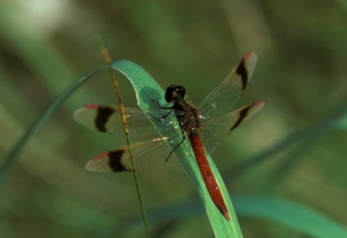 Die gebänderte Heidelibelle (Sympetrum pedemontanum). Bild: Albert Krebs