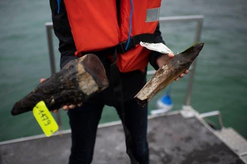 Die Pfähle wurden abgesägt oder aus dem Seegrund gezogen. Der grösste Teil ist während der Jahrhunderte im Wasser zerfallen, weshalb oft nur noch kleine Stücke da sind. (Bild: Gian Ehrenzeller/KEY)