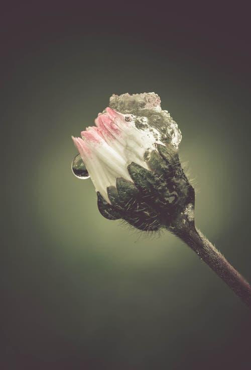 Heute Morgen tragen die Gänseblümchen eine Mütze aus Eis und Schnee. (Bild: Petra Jung (Hämikon (14. April 2019))