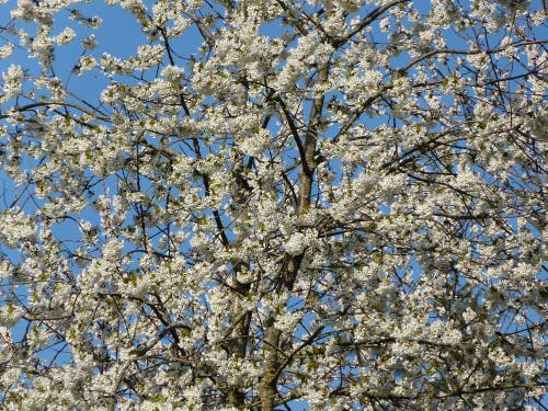 Frühling in blütenweisser und himmelblauer Pracht. (Bild: Josef lustenberger, Wolhusen, 18. April 2019)