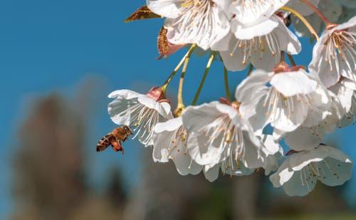 Eine fleissige Biene bei der Arbeit. (Bild: Daniel Hegglin, Zug, 20. April 2019)