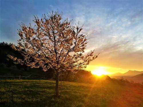 Die ersten Sonnenstrahlen erleuchten den blühenden Baum. (Bild: Urs Gutfleisch, Malters, 21. April 2019)