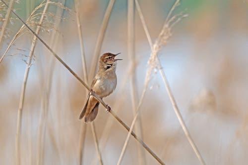 «Der Rohrschwirl hat einen speziellen Gesang: Er klingt wie ein insektenartiges Schwirren», schreibt Leserin Marianne Schmid. (Bild: Cudrefin VD, 22. April 2019)