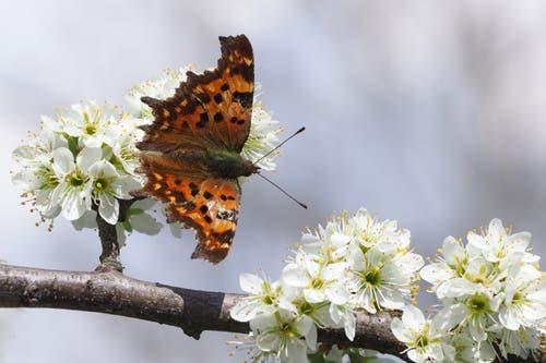 Nicht der schönste, aber der erste Schmetterling, den unsere Leserin dieses Jahr ablichten konnte. (Bild: Claudia Scheuber, Sarnen, 9. April 2019)