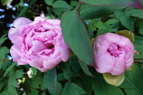 Die ersten Pfingstrosen blühen im Garten. (Bild: Josef Habermacher, Rickenbach, 1. Mai 2019)