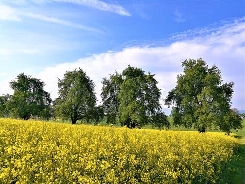 Der Frühling ist da! Wunderschöne Aufnahme eines Rapsfeldes in Sempach. (Bild: Urs Gutfleisch, Sempach, 17. Mai 2019)