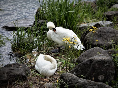 Ob diese Schwanenpaar wohl Nachwuchs erwartet? (Bild: Margrith Imhof-Röthlin, Luzern, 13. Mai 2019)