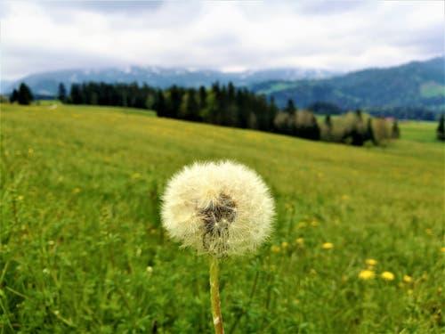 Eine einsame Pusteblume im Entlebuch. (Bild: Urs Gutfleisch, Entlebuch, 18. Mai 2019)