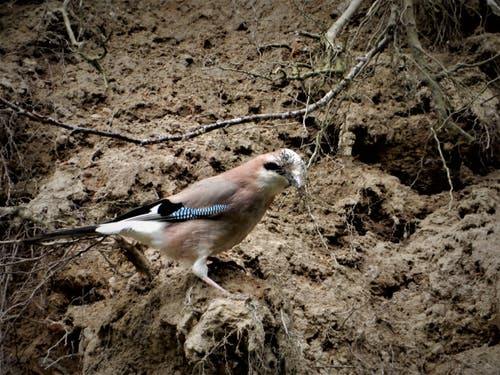 Dieser fleissige Eichelhäher ist sogar am Sonntag mit seinem Nestbau beschäftigt. (Bild: Margrith Imhof-Röthlin (Adligenswil, 19. Mai 2019))