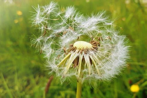 Vom Winde verweht, die Pusteblume ziehen über die Wiesen. (Bild: Anita Imfeld-Leu (Zug, 19. Mai 2019))