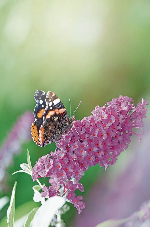 Schön, aber trotzdem ein Neophyt: der Sommerflieder, auch Schmetterlingsbaum genannt. (Bild: Getty)