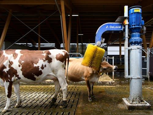 Das tut gut: eine Kuh lässt sich im neuen Stall am Inforama Rütti von einer Kuhbürste den Nacken kratzen. (Bild: KEYSTONE/ANTHONY ANEX)