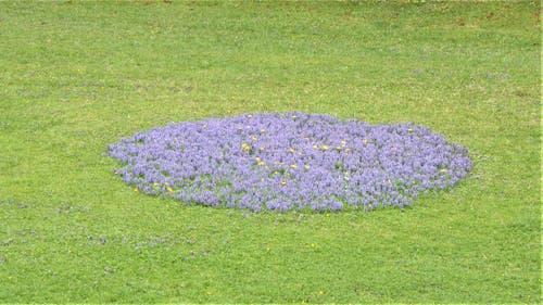 Der kriechende Günsel - eine Heilpflanze, die sich auf diesem Rasen besonders schön formiert hat. (Bild: Hans Steiner, Stans, 4. Mai 2019)