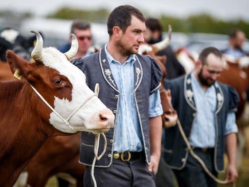 Nur einige Kühe tragen Hörner. (Bild: KEYSTONE/VALENTIN FLAURAUD)