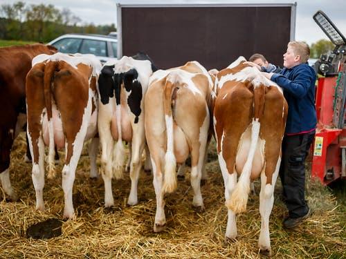 Die ersten Kühe kommen gegen 8.00 Uhr an und werden von ihren Besitzern herausgeputzt. (Bild: KEYSTONE/VALENTIN FLAURAUD)